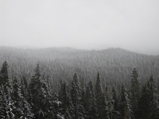 """Red Alder: """"Winterdress""""."""